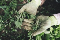 Weed Marijuana does a Plant Produce on average time Cost